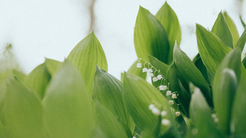 Za symbol nieśmiałości uważane są konwalie – kwiaty, które kwitną wmaju.