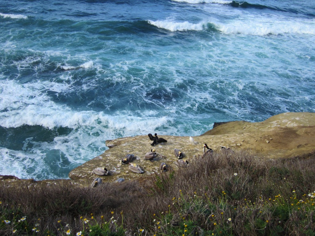 Pelikany wLa Jolla, fot. Zofia Górka