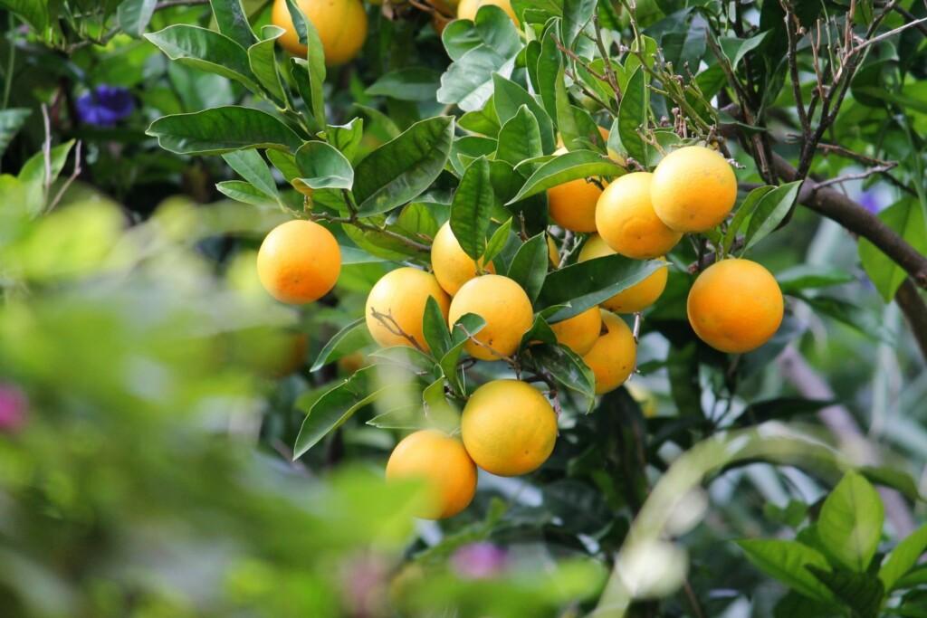 Cytryny to jeden ze znaków charakterystycznych Positano, fot. Michael Costa / Flickr CC by 2.00