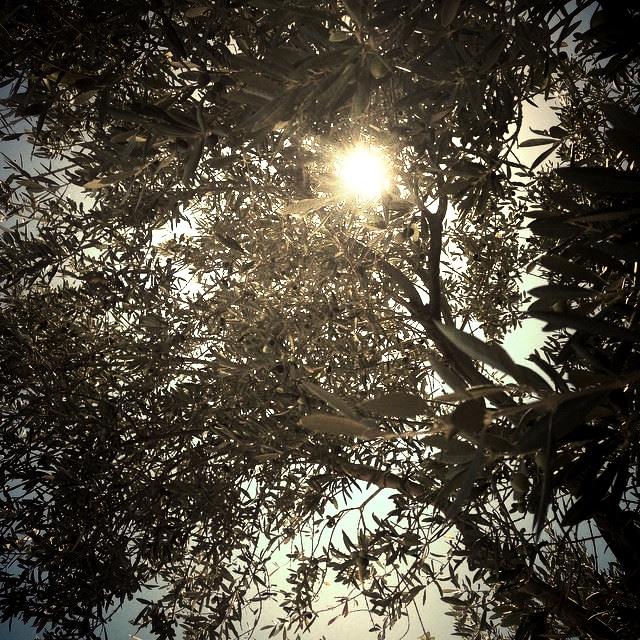 Światło wśród gałęzi drzew oliwnych. Fot. Julia Wollner