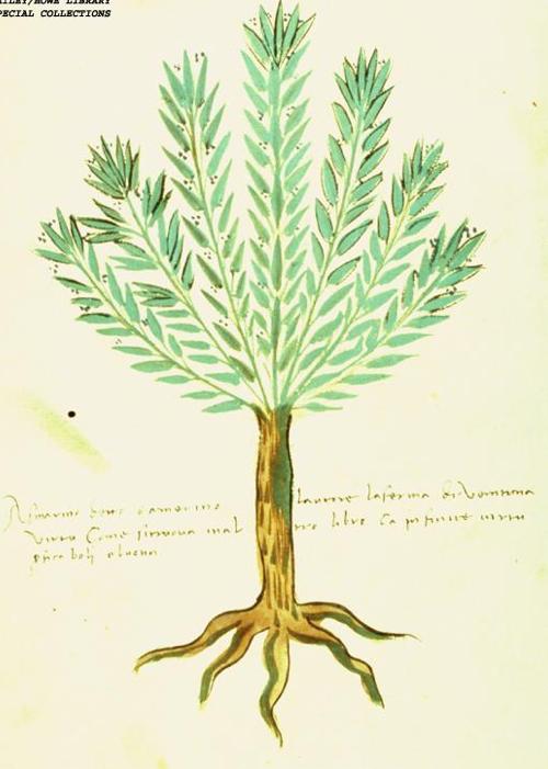 Rozmaryn na ilustracji wszesnastowiecznym włoskim zielniku.