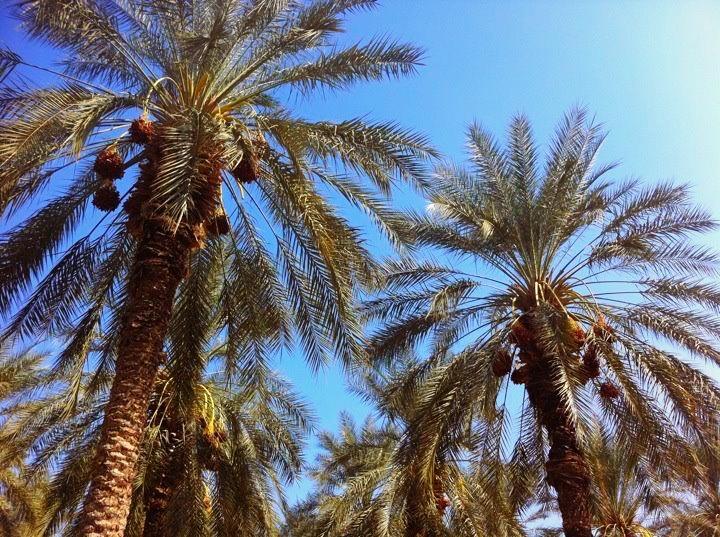 Palma daktylowa, fot. sharon shlomo / PikiWiki - Israel free image collection project,