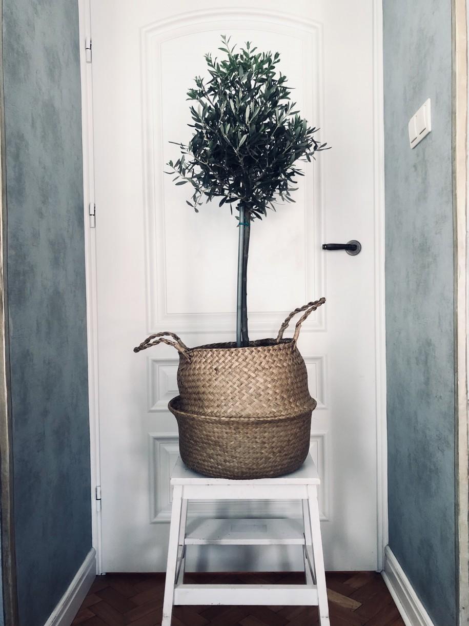 Jedno zmoich drzewek, odmiana Frantoio. Donica ipodstawka osłonięte są koszem ztrawy morskiej. Podobny (mniejszy) kupić można tutaj