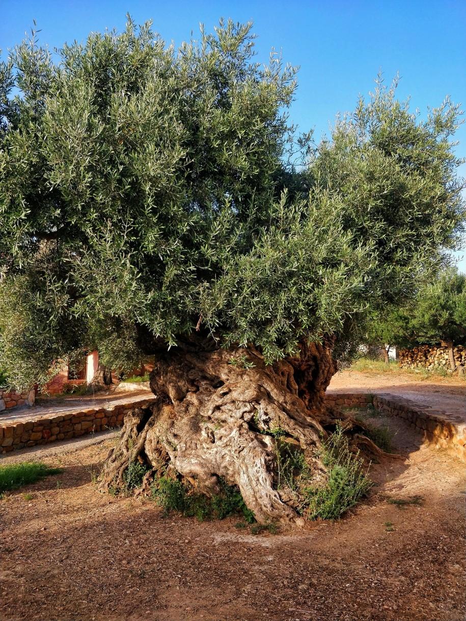 Liczące sobie ponad 3.000 lat greckie drzewo oliwne wVouves, być może najstarsze na świecie. Drzewa oliwne były wstarożytności symbolem długowieczności, której nie udało się osiągnąć Achillesowi, ale także pokoju, który również nie stanowił części jego doświadczenia